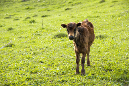 A small calf grazes on a meadow Stock Photo