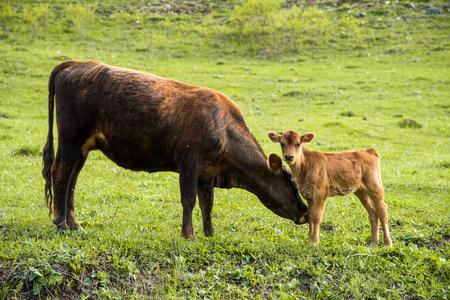 Moeder koe naast haar baby kalf grazen op een weide Stockfoto