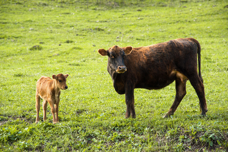 Mother cow next to her baby calf grazing on a meadow