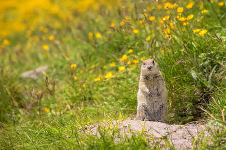 scouting: Scouting caucasian Ground Squirrel