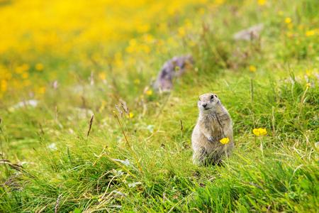 Scouting caucasian Ground Squirrel