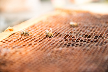 Dead bees, covered with dust and mites on an empty honeycomb from a beehive in decline Stock Photo