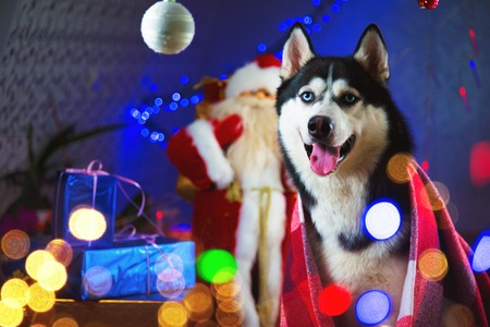 The adult Husky male wrapped in a plaid red blanket surrounded by garlands of lights and New Years Christmas toys - balls are waiting for a new year