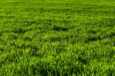 Background of a green juicy grass field with wave patterns from the wind. Spring freshness Stok Fotoğraf