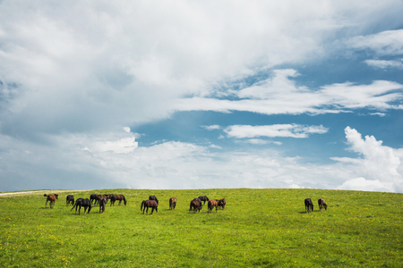 A herd of horses on a green pasture with yellow flowers against a blue sky with clouds Stock Photo