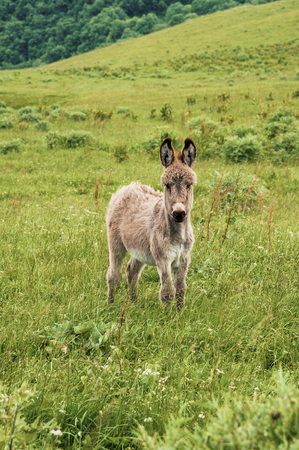 Portrait of a beautiful fluffy ass, Equus asinus, in the middle of a green meadow. On a sunny morning Stock Photo
