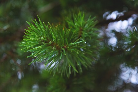 Fir tree brunch close up. Shallow focus. Fluffy fir tree brunch close up. Copy space Stock Photo