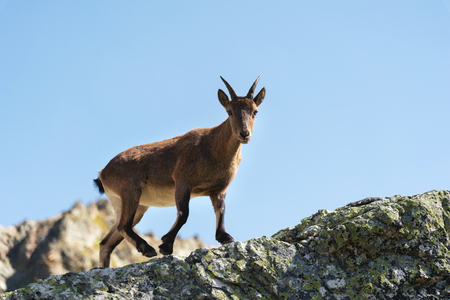 Young female alpine Capra ibex looking at the camera and standing on the high rocks stone in Dombay mountains against the sky. North Caucasus. Russia