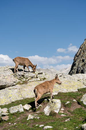 Young female alpine Capra ibex with a cub standing on the high rocks stone in Dombay mountains against the rocks. North Caucasus. Russia