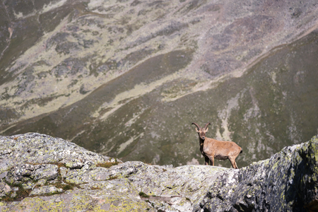 Horned goat male alpine Capra ibex on the high rocks stone in Dombay mountains. North Caucasus. Russia 免版税图像