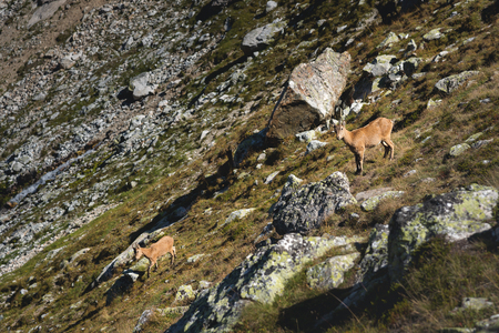 Young female alpine Capra ibex with a cub looking at the camera and standing on the high rocks stone in Dombay mountains against the rocks. North Caucasus. Russia