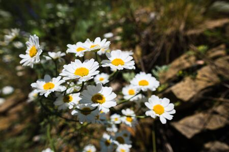 Close-up of a bush of wild chamomile on a contrasting background on a sunny day. The concept of medicinal plants Foto de archivo - 127927218
