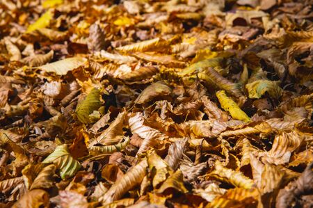 Abstract background of yellow autumn oak leaves lie curled up on the ground. Soft focus real forest. Habitat foliage.