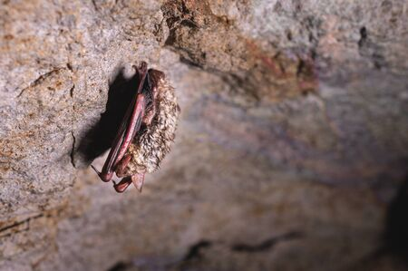 A wild bat hangs in a dream on the ceiling of a stone cave. Little bats in the North Caucasus