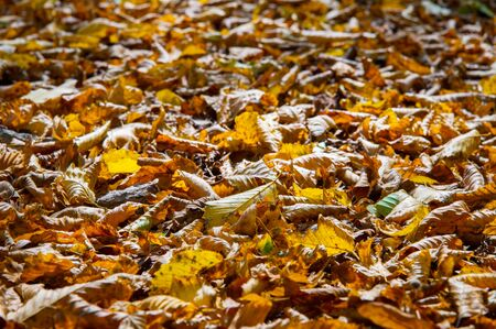 Abstract background of yellow autumn oak leaves lie curled up on the ground. Soft focus real forest. Habitat foliage