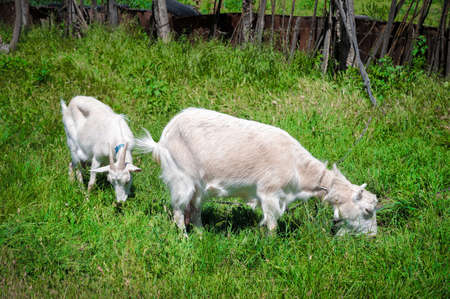 Two white goats on a leash with collars graze next to a rural fence on green grass on a sunny day. concept of farming and livestock farming close-up 版權商用圖片