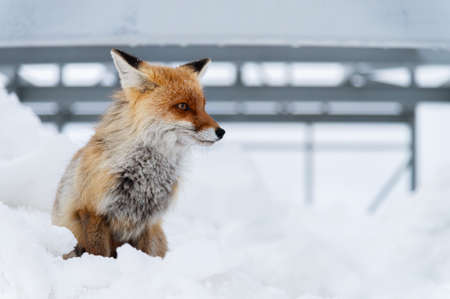 Wild red fox sits in the snow against a backdrop of metal structures in the North Caucasus Foto de archivo