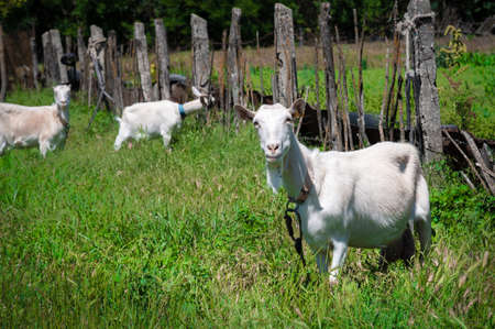 Two white goats on a leash with collars graze next to a rural fence on green grass on a sunny day. concept of farming and livestock farming close-up 스톡 콘텐츠