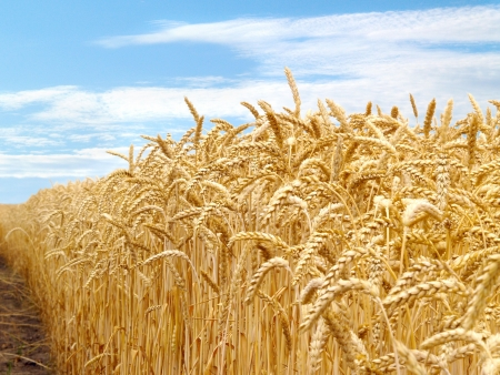 grain fields: Agriculture Stock Photo