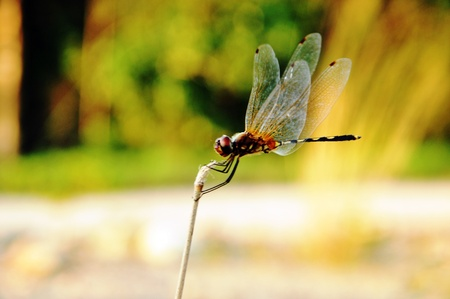 dragon fly: Dragon fly on branch