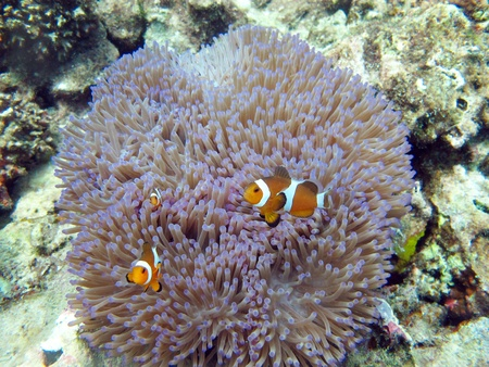 clown anemonefish: A Clown Anemonefish swimming among the tentacles of its sea anemone