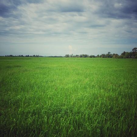 paddy field: View of paddy field