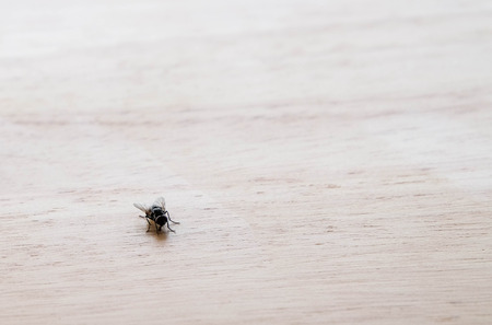 contagion: Small fly on wooden table at left down corner background