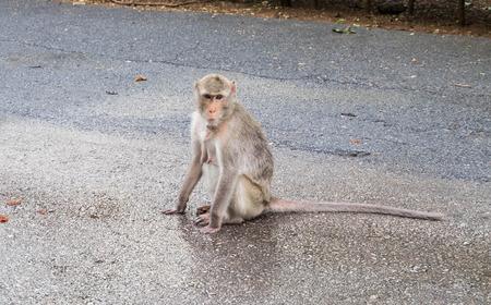 ratchaburi: Female long-tailed monkey looks at camera, sitting on gravel floor, Ratchaburi, Thailand.