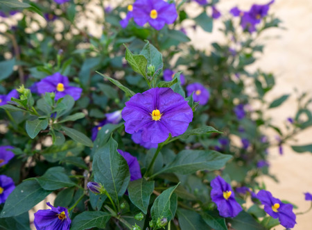 petunia wild: Small purple flowers with yellow pollen. The flower petal is rounded like petunia but the pollen is different.