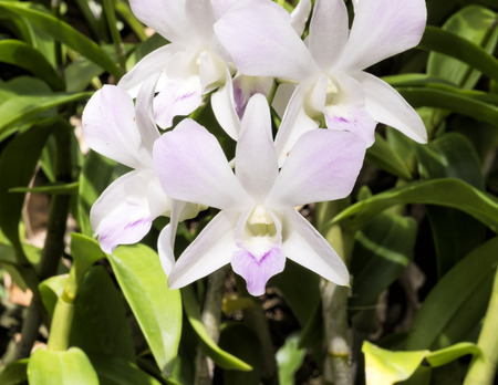 dendrobium: Pale pink dendrobium orchid flowers, outdoor Stock Photo