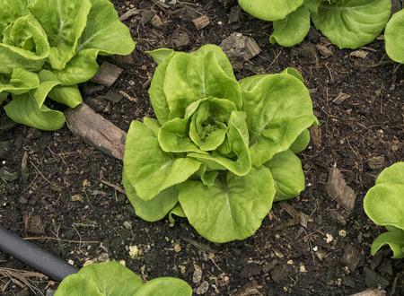 butter head: Butter head lettuce, hydroponic vegetable planting in soil.