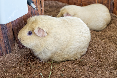cavie: Guinea pigs with beige or golden hair full body in sand tray
