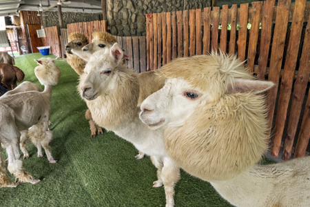 freely: Alpaca and his pals in zoo, freely walk and eat from travelers Stock Photo