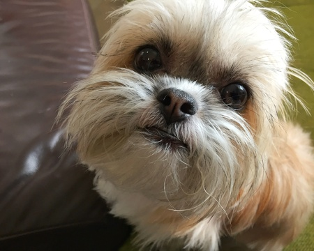 nose: Cute Shih Tzu half chihuahua puppy looking at camera.