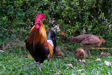 Cock, hen and chicks at lawn, outdoor shot. Stock Photo