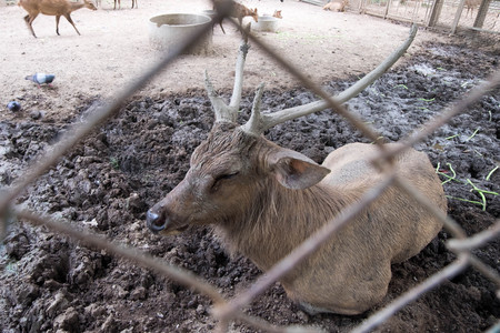 Male hog deer laying on mud, shot outside of cage in zoo. Stock Photo