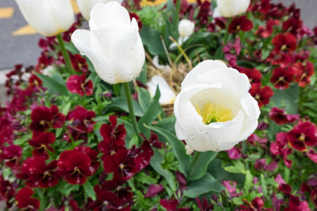 White tulip and burgandy pansy flowers Stock Photo