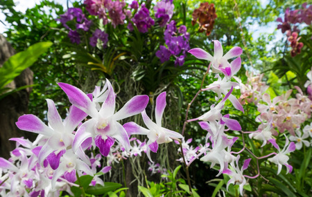 orchidaceae: White purple orchid flowers background. Outdoor shot.