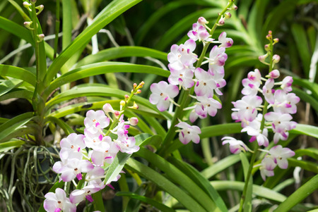 Beautuful white pink orchid flowers with buds in branch.