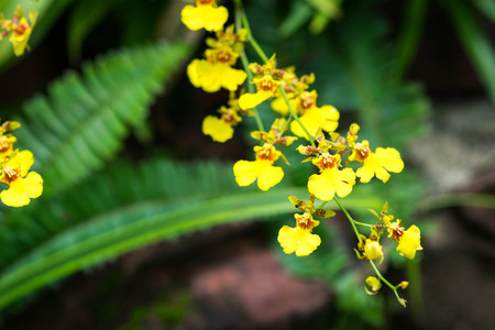 Oncidium Goldiana is known as golden shower or Dancing Lady Orchid.