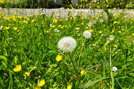 Dandilion and weeds on ground near road. Background summer.