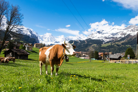May 12, 2017 - Wengen, Switzerland: Cows in grassland, owner lets them eat grasses as much as they want before milking.