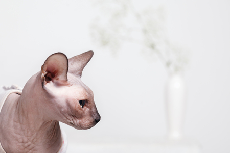 Portrait of a brooding naked Sphynx cat breed canadian in profile, on a white blurred background with a vase of flowers. 免版税图像