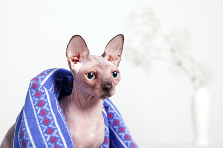 Naked cat breed canadian Sphinx, sitting covered with a blanket on a blurred background of a white wall and a vase of flowers. Morning spring mood