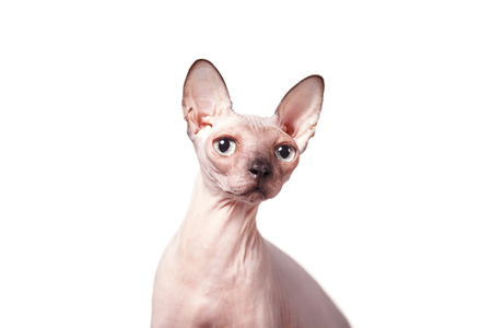 cat, Sphynx, Canadian, close up isolated on white background Stock Photo