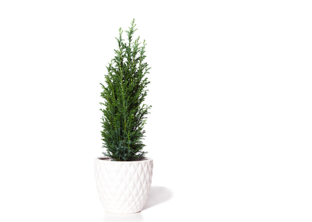 Young cypress isolated on white. Chamaecyparis in the white pot, common names cypress or false cypress. Isolated object. White background