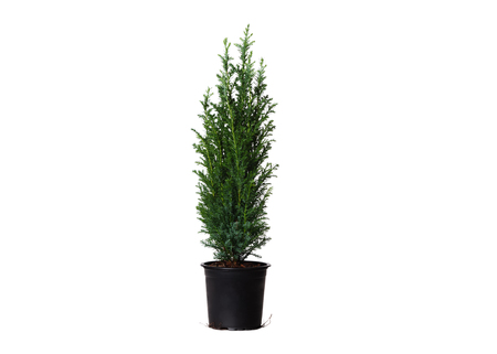 Young cypress isolated on white. Chamaecyparis in the black pot, common names cypress or false cypress. Isolated object. White background