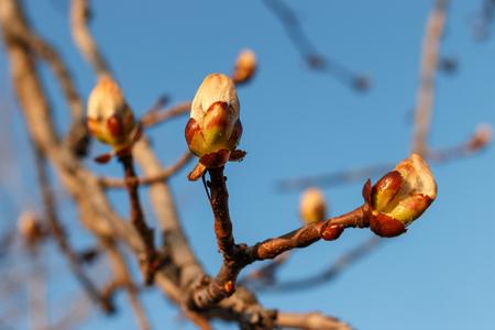 Frühlingskastanienzweig mit Knospen auf blauem Himmelshintergrund. Natur und Blüte im Frühling Standard-Bild
