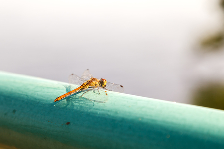 Dragonfly sitting on a green pipe on a blurred background of the pond. Yellow dragonfly close-up. Archivio Fotografico