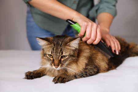 Tabby cat lying and enjoying being cleaned and combed. Combing the furry grey striped cat. The concept of pet care.